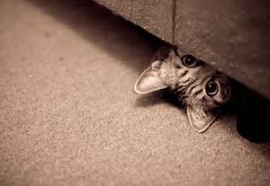 cat under dresser